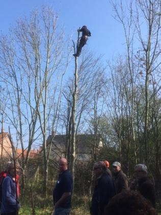 Pollarding an Ash Tree